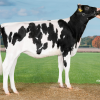 "Charley's full sister DG Caylee ""as a maiden heifer"""