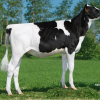 "#4 GTPI cow Dukefarm Mon Deloria ""as a maiden heifer"""