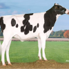 "#2 GTPI cow De Oosterhof Mon Tahaya ""as a maiden heifer"""