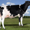 Calbrett Supersire Barb *RC - Dam to Primeval 20 - #5 GTPI RC heifer in Europe